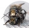 mating-bees