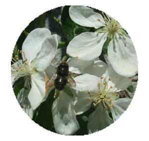 appleblossom-circle