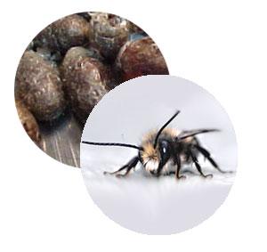 723.20 Mason Bee cocoons